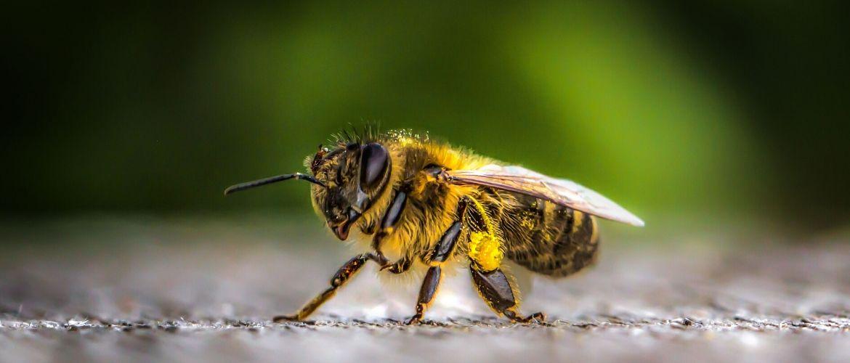 Пчелиный яд: состав, полезные и вредный свойства