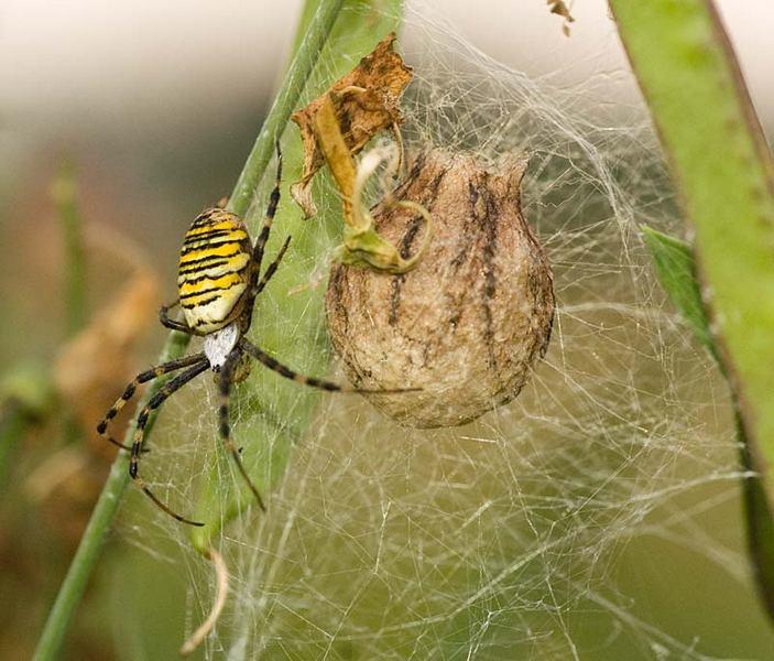 Кокон паука-осы