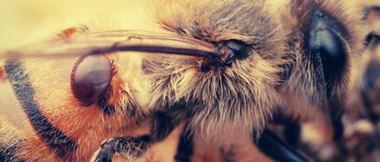 муравьиная кислота для лечения варроатоза