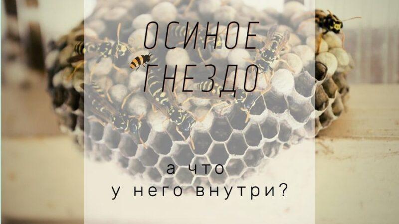Как осы строят гнезда и что у него внутри