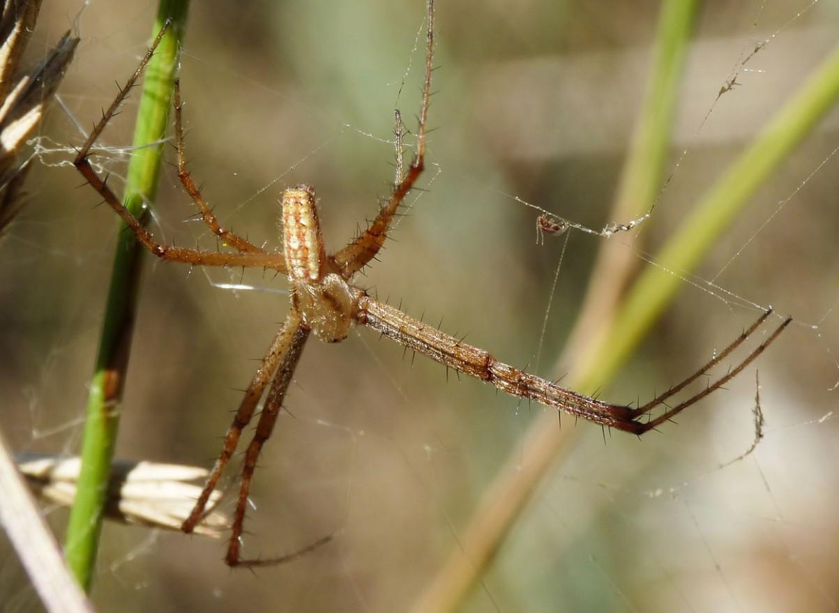 Фото паука-осы самца