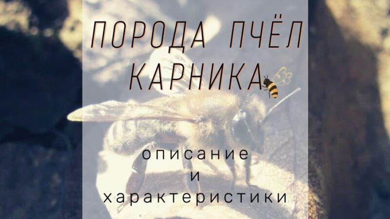 Порода пчел карника - характеристики, разновидности особенности