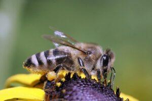 Серая горная кавказская порода пчел