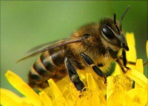 Украинская степная порода пчёл