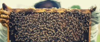 Заболевания пчел: симптомы и разновидности