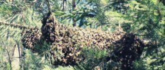 Как ловить диких пчел ловушкой и история бортничества на руси