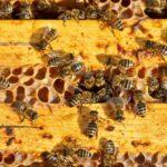 Как пересадить пчел из ловушки в улей