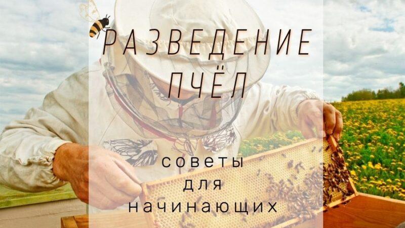 как разводить пчел советы для начинающих пчеловодов
