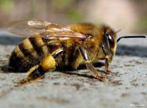 Карпатская порода пчёл