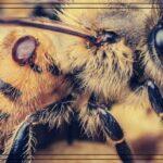 леячение варроатоза пчел народными средствами