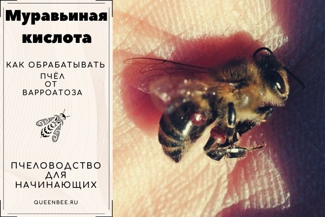 Применение муравьиной кислоты против варроатоза