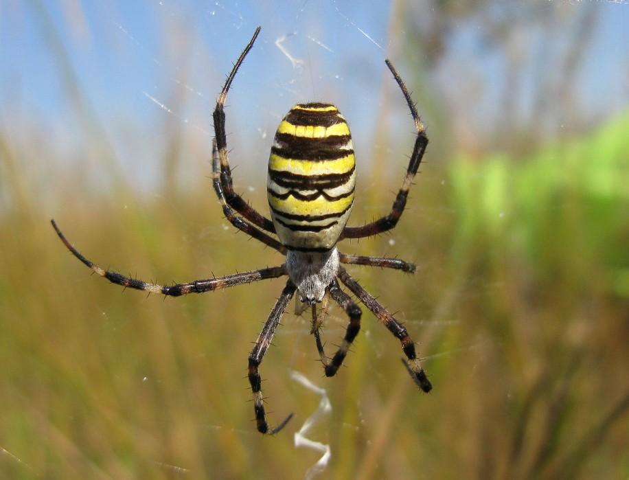 Фото самки паука-осы на ловчей сети