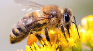 Порода пчел Бакфаст описание и характеристики