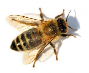 Пчела медоносная (Apis mellifera).