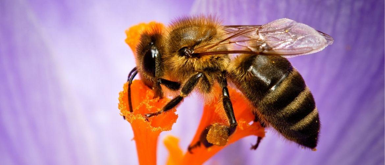 Строение пчелы: вся пчелиная анатомия подробно