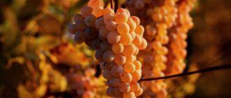 осы портят виноград