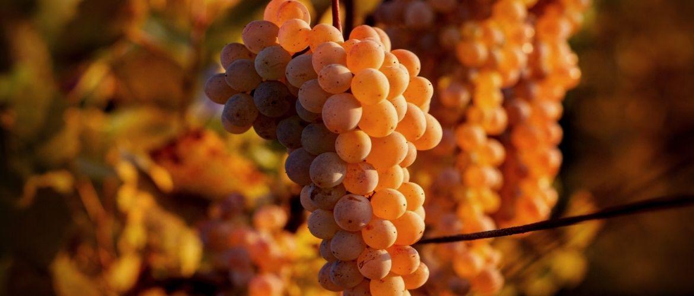Мешочки для винограда от ос: где купить и как сделать самому