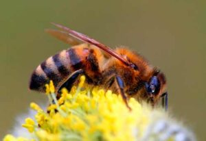 Породы пчел: желтая кавказская