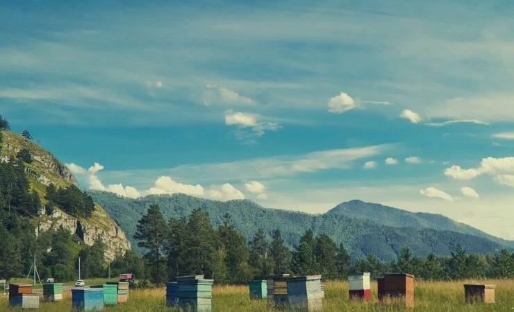 Алтайский мед описание, фото, полезные свойства