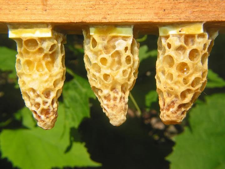 пчелиный маточник